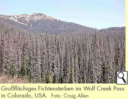 Großflächiges Fichtensterben im Wolf Creek Pass in Colorado, USA.